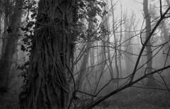 Wombourne woods. (Dave.Miles) Tags: nikon nikonf 24mmlens 24mmnikkor nikkor ilford ilfordfp4plus ilfordfp4 35mm 35mmfilm slr film filmisnotdead filmphotography fog mist woods wombourne staffordshire trees analogue blackandwhite amateurphotographermagazine appickoftheweek