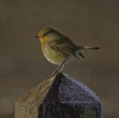 Robin (xDigital-Dreamsx) Tags: bird nature naturephotography wildlife songbird frozen frost winter sunlight