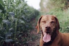 Happy Viszla (Film by Emily) Tags: ricohxr7 sasha colourfilm canine 35mm 35mmfilm emilyjacksonfilm