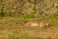 Wildlife 21st June 2019 070 (Mark Schofield @ JB Schofield) Tags: brown hare wildlife nature natural world pennines meltham summer evening