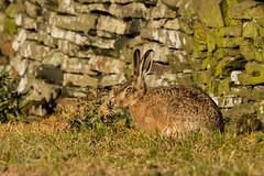 Wildlife 21st June 2019 044 (Mark Schofield @ JB Schofield) Tags: brown hare wildlife nature natural world pennines meltham summer evening