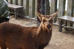 センベイ合図 / Eye contact (O. Heda) Tags: animal 動物 宮島 厳島 itsukushima miyajima deer 鹿 広島 hiroshima japan 日本