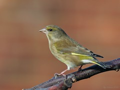 Greenfinch (legoman1691) Tags: greenfinch garden bird nature wildlife wildbird naturephotography wildlifephotography
