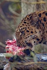 Amur Tiger (nickym6274) Tags: twycrosszoo twycross atherstone leicestershire zoo uk animal amurleopard leopard bigcat eating nikond7500