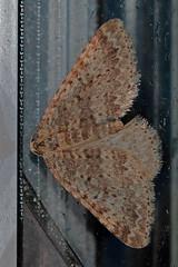winter moth (DODO 1959) Tags: wildlife wintermoth macro insects fauna animal canon 100400mmmk2 7dmk2 glynneath southwales glamorgan outdoor nature