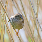 Young sparrow in reeds