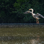 Heron with its breakfast catch