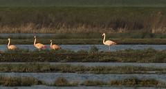 Flamingo / Phoenicopteriformes (m.ritmeester) Tags: ngc naturelovers natuur nederland zuidholland flamingo roze zwart groen blauw bruin water geel zevenhuizen