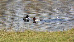 A mixed couple of trans-species male ducks (Manfred_H.) Tags: nature animals birds ducks tuftedduck reiherente pochard tafelente transspecies hybrid seasons wintertime mixed