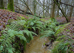 Up stream . (Through Bri`s Lens) Tags: sussex ashurst spithandlelane ferns stream winter leaves forest woods trees brianspicer canon5dmk3 canon1635f4