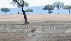 Shopping for lunch (Tris Enticknap) Tags: africa cheetah kenya maranorthconservancy masaimara acinonyxjubatus kisaru