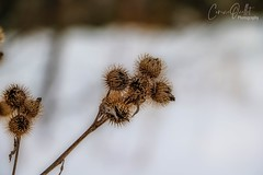 Winter ❄️ (corineouellet) Tags: canada canonphoto bokeh detail détails macro hdr focus nature fleur flower winter hiver