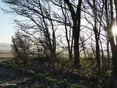 Corner of the copse (mark.griffin52) Tags: england buckinghamshire cheddington winter sun trees copse countryside landscape