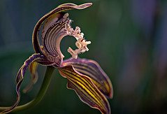 Striped and curly (Katarina Holmstrom) Tags: orkidé makro blomma