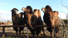 Snobbish - Hochnäsig (ivlys) Tags: dänemark denmark blåvand zoo kamele camelidae camelids tier animal hochnäsig snobbish natur nature ivlys