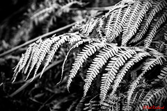 Frosted braken B&W (2464) (red.richard) Tags: flora fern braken closeup bw monochrome nikon d800 cof094 cof094uki cof094tino cof094mark cof0942007 cof094mire cof094mvfs cof094lens cof094dmnq