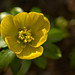 First Winter Aconite