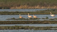 Flamingo's (jeannette. dejong) Tags: ngc naturelovers natuur nederland zuidholland zevenhuizen flamingo roze groen water geel zwart