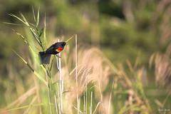 Carouge a épaulettes (Guatemala)-3 (Michel Gasser Photographie) Tags: america amérique aves birds continentsetpays gt gtm guatemala oiseaux elremate