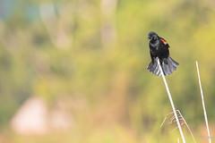Carouge a épaulettes (Guatemala) (Michel Gasser Photographie) Tags: america amérique aves birds continentsetpays gt gtm guatemala oiseaux elremate