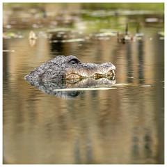In An English Country Garden (Mandy Willard) Tags: 366 2601 2020th50 alligator crocodile pond batemans water reflection quirky