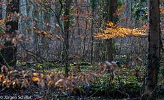 DSC_9710.jpg (Jürgen Schillat) Tags: wald winter laub bäume farben sonne neusserstadtwald nikond7200 nikkor afs 85 mm