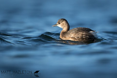 Little grebe (Matt Hazleton) Tags: littlegrebe grebe tachybaptusruficollis bird wildlife animal nature outdoor canon canoneos7dmk2 canon500mm eos 7dmk2 500mm matthazleton matthazphoto cornwall falmouth water waterbird waterfowl wildfowl