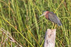Heron vert(Guatemala) (Michel Gasser Photographie) Tags: america amérique aves birds continentsetpays gt gtm guatemala oiseaux elremate
