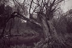 Baum am Fluß (joachim.kracher) Tags: baum feistritz austria österreich flus sw bw outside outdoor nature natur zeiss sony batis 18mm festbrennweite highiso a7r uncut river old ufer alt