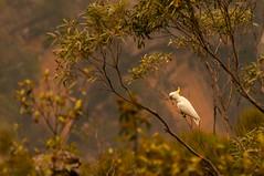 Bitten (Haf3z) Tags: cockatoo parrot bluemountains australia newsouthwales bird forest forestfires habitat wildlife iamnikon nikkor70300mm nikond90 nature trees