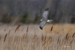 Male Northern Harrier (Jim Beers) Tags: bird raptor predator nature wildlife habitat nikon nikkor d850 200500