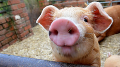 Button (Matt West) Tags: piglet pig snout nose farm animal cute young oink