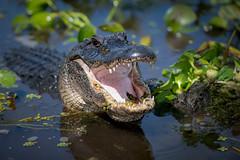 American Alligator (nhblevins) Tags: louisiana wildlife d850 nature nikon bayou swamp alligator