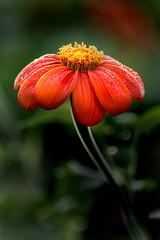 Dew on Flower 3-0 F LR 8-11-19 J172 (sunspotimages) Tags: flower flowers zinnia zinnias nature orangeflower orangeflowers orangezinnia orangezinnias orange
