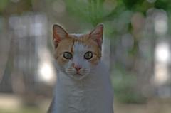 Kitty in bubbles 4 (M42Junkie) Tags: tigercoligon135mm28 preset pentaxk5iis bokeh bubbly bubbles green trees light kitty cat eyes vintagelens oldlens intensity sanantonio texas