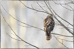 Juvenile RSH (RKop) Tags: fernaldpreserve ohio raphaelkopanphotography 600mmf4evr 14xtciii nikon d500