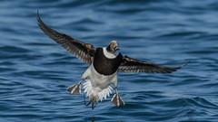 Long-tailed Duck  4156 (Paul McGoveran) Tags: bif bird birdinflight burlington burlingtonliftbridge duck lakeontario longtailedduck nature nikon500mmf4 nikond850 ontario wings specanimal coth5