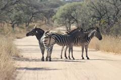 A Roadblock ahead (Rckr88) Tags: krugernationalpark southafrica kruger national park south africa a roadblock ahead aroadblockahead road roads animals animal zebra zebras nature naturalworld outdoors travelling travel
