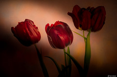 Three Is A Crowd (Ken Mickel) Tags: artistic beautiful fineart floral flower flowers kenmickelphotography plants texture textured textures tulip blossoms botanical nature photography