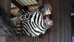 Monday Face (ivlys) Tags: dänemark denmark blåvand zoo zebra tier animal montagsgesicht mondayface natur nature ivlys