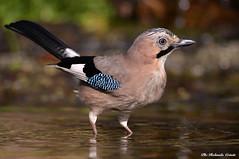 Ghiandaia _014 (Rolando CRINITI) Tags: ghiandaia uccelli uccello birds avifauna castellettomerli natura