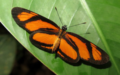 Eresia perna (Over 6 million views!) Tags: butterfly ecuador nymphalidae eresiaperna insect butterflies