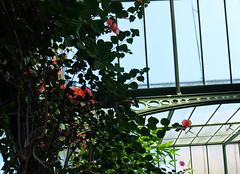 (Ute Kluge) Tags: bougainvillea wilhelma botanicalgarden stuttgart