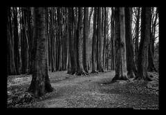 WALD (herbert thomas hesse) Tags: hth sw bw monochrome wald rügen insel stubbenkammer jasmund sassnitz ostsee bäume