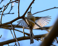 Aegithalos caudatus (shinichiro*@Hokkaido-until0217) Tags: 町田市 東京都 日本 20200110ds21550 2020 crazyshin nikonz6 z6 ftz sigma150600mmf563dgoshsmcontemporary winter january tokyo japan jp 薬師池公園 bird birds sspriority isoauto エナガ 49448880746 9703772 202002esp