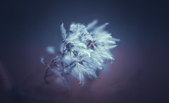 Clematis seed head (Dhina A) Tags: sony a7rii ilce7rm2 a7r2 a7r malik triolam 100mm f29 france anastigmat 29 maliktriolamfranceanastigmat100mmf29 slide projection projector lens french manualfocus bokeh