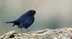 Mele noir (Guillaume Dardant) Tags: nature sauvage oiseaux bird passereaux forêt bois loiret d850 500mmf4 nikon merlenoir turdusmerula turdidés commonblackbird passériformes affût
