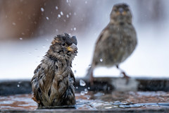 bath time (le cabri) Tags: sparrow bath wet bathtime background bird animal animalwildlife beauty water brown canada feather light nature snow winter outdoors small songbird stripped wilderness