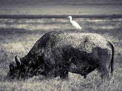 CAPE BUFFALO (eliewolfphotography) Tags: bnw bw buffalo capebuffalo animals africa safari nature nikon natgeo ngorongoro