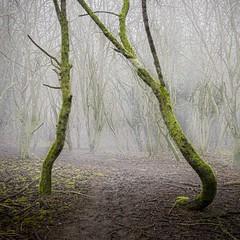 The Gateway (ivanstevensphotography) Tags: fog foggy trees wood woods woodlandphotography mud muddy moss algae pathway path